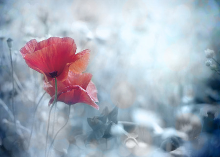 여름에 밝은 붉은 양귀비 꽃의 필드 스톡 콘텐츠