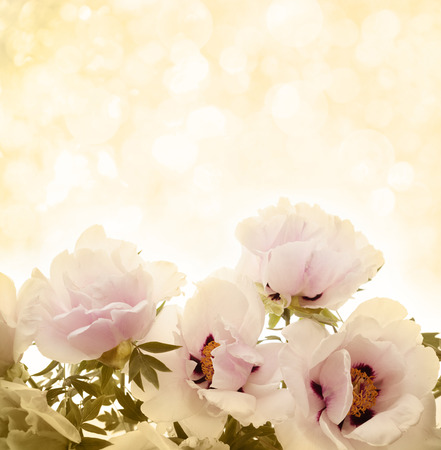 pfingstrosen: Rosa blühen Pfingstrosen background.Spring Blumen.