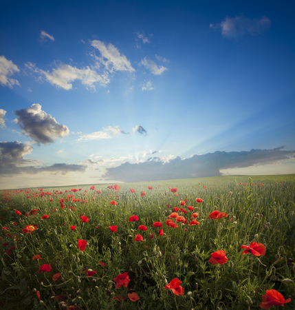 flowers sun: Red poppies on green field, sky and clouds