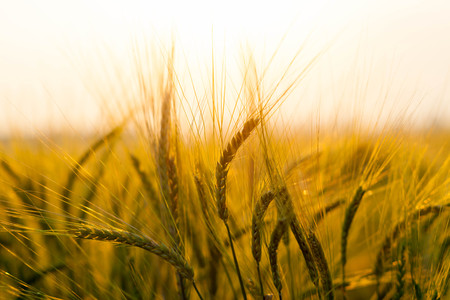 Wheat field on the background of the setting sun Stock Photo