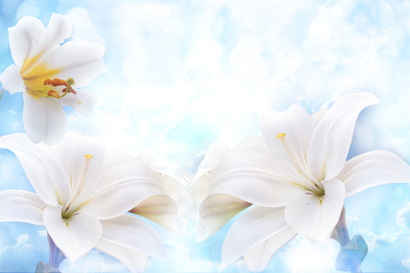 Flowers of white lilies on the background  blue sky. Spring Flowers