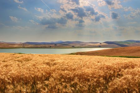 farmhouses: RURAL LANDSCAPE SUMMER.Between Apulia and Basilicata: Farmhouses surrounded by grain fields. Lake Basentello, Poggiorsini ITALY.Hilly landscape with cornfields around the artificial lake Basentello.