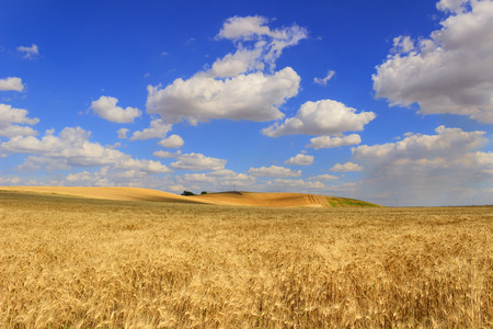 RURAL LANDSCAPE SUMMER.Between Apulia and Basilicata: cereal field.ITALY.Hilly landscape with wheat field. Stock Photo