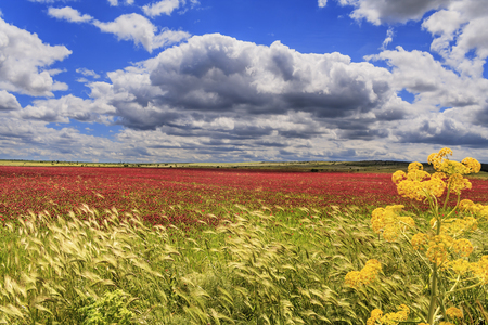 Alta Murgia National Park, field of flowers.
