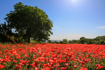poppy flowers: Spring landscape; walnut tree in a field of poppies.