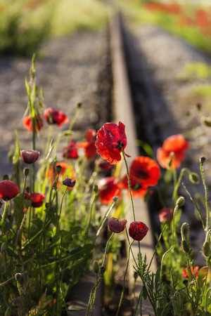 force of the nature: Springtime.The force of nature: poppies on the tracks. Apulia -Italy- Poppies waiting for the passage of the train.Poppies waiting for the passage of the train.Poppies waiting for the passage of the train. Stock Photo