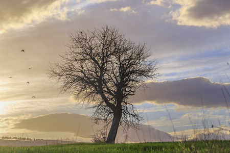 Between Puglia and Basilicata: lone tree at sunset. Italy.Hilly landscape: flight of birds with bare tree.