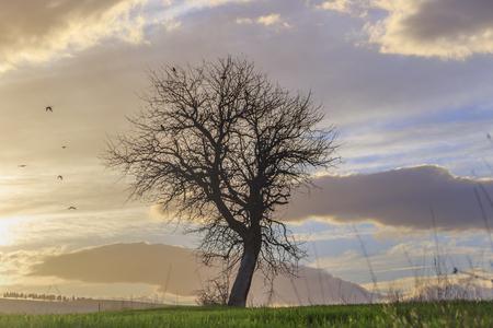 Zwischen Apulien und Basilikata: einsamer Baum bei Sonnenuntergang. Italy.Hilly Landschaft: Flug der Vögel mit kahlen Baum. Standard-Bild