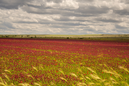 plateau of flowers: Spring landscape. Alta Murgia National Park: field of purple flowers. Apulia-ITALY-It is a limestone plateau, with wide fields and rocky outcrops, grassland caratterizzata by sheep Stock Photo