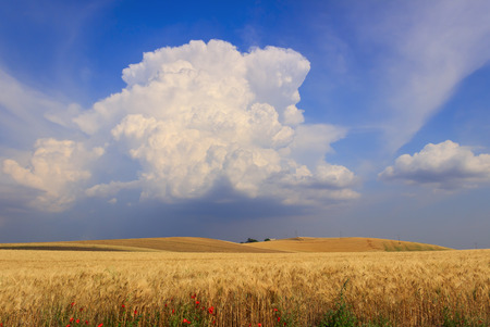 hilly: RURAL LANDSCAPE SUMMER.Between Apulia and Basilicata: hilly landscape with wheat field dominated by a cumulus cloud.ITALY