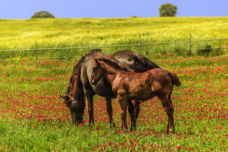 mare and foal: Spring landscape: mare with foal. ITALY (Apulia) .Hilly rural: mare with foal in a field of purple flowers.