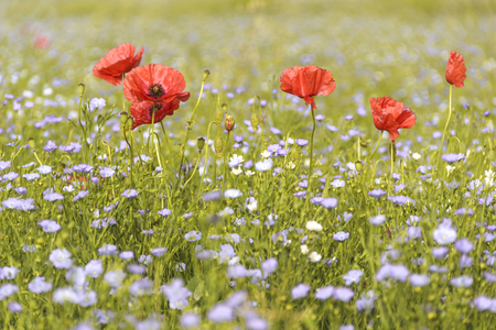 meadowland: Springtime. Poppies in a field of blue flowers. Apulia, Italy.