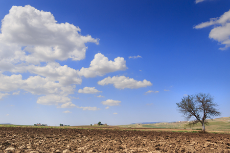 lonely tree: SUMMER LANDSCAPE.Between Apulia and Basilicata: lonely tree on plowed soil. ITALY