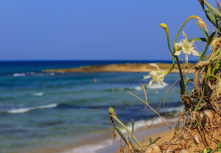 Summer seascape.Torre Guaceto Nature Reserve: Pancratium maritimum, or sea daffodil. BRINDISI (Apulia) -ITALY-Mediterranean maquis: a nature sanctuary between the land and the sea. Stock Photo