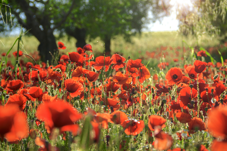 meadowland: SPRINGTIME.Between Apulia and Basilicata. Backlit poppies in a field with trees. Italy. Rural landscape with wildflowers vernal.