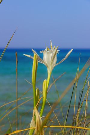 Summer wildflowers.Torre Guaceto Nature Reserve: Pancratium maritimum, or Sea Daffodil. BRINDISI (Apulia) -ITALY-Mediterranean maquis: a nature sanctuary between the land and the sea.Pancratium maritimum grows on beaches and coastal sand dunes: it is nati Stock Photo