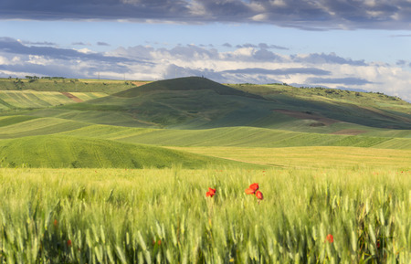 gramineous: Springtime. Between Apulia and Basilicata: hilly landscape with green cornfields (ITALY). Spring countryside with immature ears of corn.
