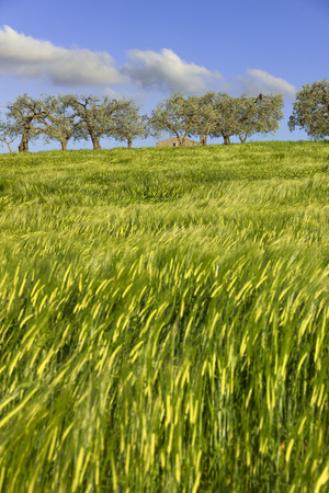 gramineous: Springtime.Between Apulia and Basilicata: hilly landscape with green cornfields.ITALY. Ears of corn in the countryside with wind.Spring immature cultivations and olive trees.