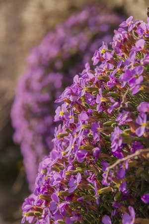 Apulian spring: Aubrieta columnae (or Aubrezia Colonna) is endemic flower of the Gargano promontory. It is tipical wildflower of Monte SantAngelo (Apulia), present only spontaneously in Italy. It lives on limestone cliffs. Stock Photo