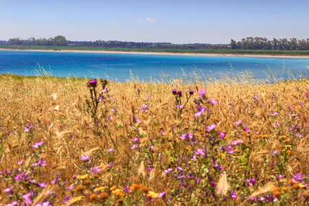 Summer seascape: Torre Guaceto Nature Reserve .BRINDISI (Apulia)-ITALY-Mediterranean maquis: a nature sanctuary between the land and the sea.Sandy beach set among purple wild flowers, turquoise crystalline sea, green lush vegetation.