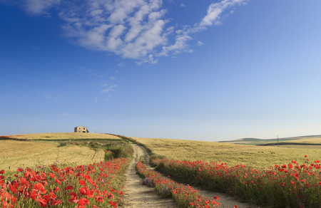 SPRINGTIME. Between Apulia and Basilicata, Italy. Hilly landscape with farmhouse and country road through wheat field end poppies. Green and flowery countryside crossed by a path that goes away. 版權商用圖片