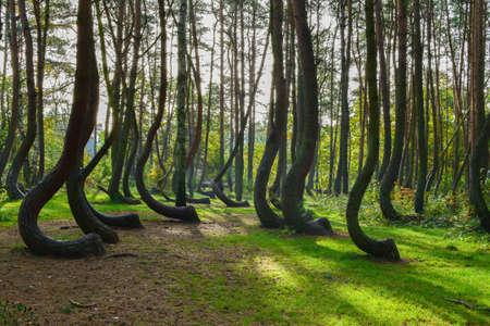 Una strana foresta curiosa in Polonia. Archivio Fotografico - 93118647