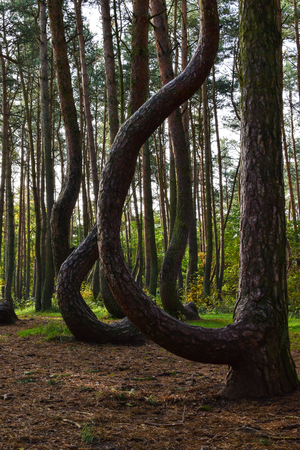 A unique curved forest in Griffin. Poland, removed in the summer morning