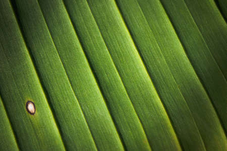 A closeup of a banana palm leaf with ribs and venus, and white defect. Leaves pattern