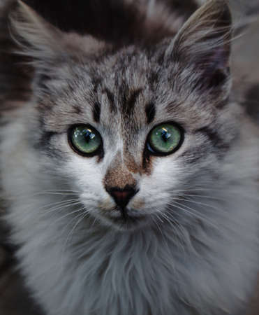 A close up of white and gray kitten with green eyes. Cute little cat 版權商用圖片