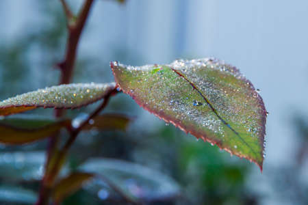 Closeup of dew drops on the rose leaves. Poetry concept. New life concept