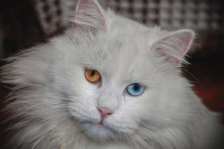 Fluffy white cat with blue and orange eyes close up