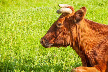 A young brown cow lies on the lush green grass. Side view. Head of domestic cattle close-up Stockfoto