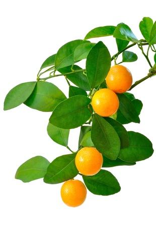 naranja arbol: Mandar�n