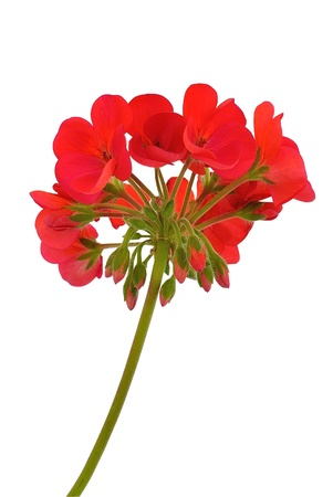 Red geranium flower photo