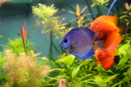Blue and orange discus in the aquarium photo