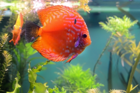 Orange discus fish in the aquarium photo