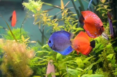 Poissons Discus bleu et orange dans l'aquarium Banque d'images - 13681850
