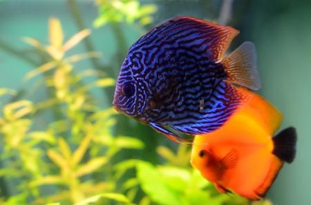 Blue and orange discus fish in the aquarium Stock Photo