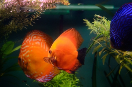Discus fish in the aquarium photo