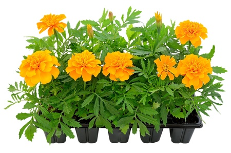 Tagetes flower seedlings in containers isolated on white background photo