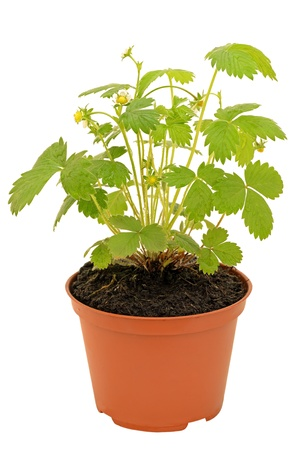 Strawberry bush in a flowerpot isolated on white photo