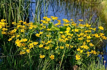 palustris: Marsh Marigold (Caltha palustris) in the swamp