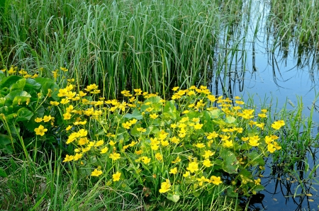 The vegetation of the swamp  Marsh Marigold  Caltha palustris  in the swamp Stock Photo