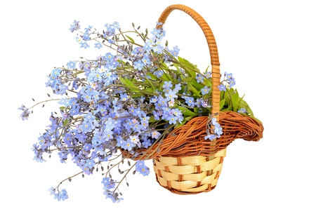 Bouquet of forget-me-not flowers in the wicker basket on a white background photo