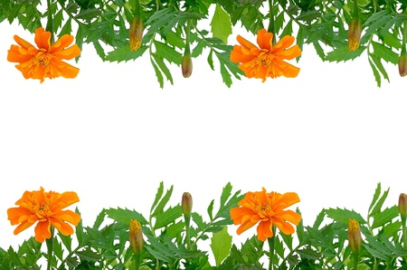tagetes: Bright Tagetes flowers frame with empty space