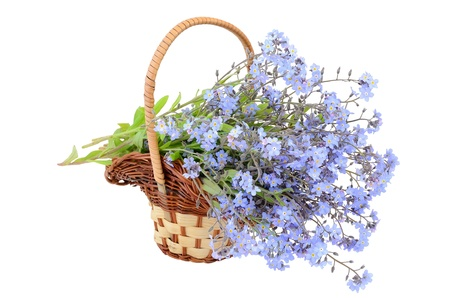 not to forget: Bouquet of forget-me-not flowers in the wicker basket on a white background