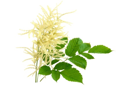 apical: Blooming Aruncus dioicus isolated on white background Stock Photo