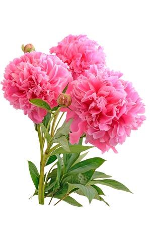 Boeket van roze pioenrozen geïsoleerd op witte achtergrond