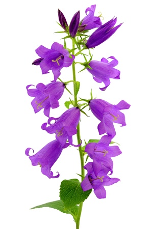 Campanula flower isolated on white background Stock Photo
