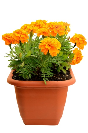 Tagetes flower in balcony flowerpot isolated on white background